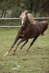 Fototapete - Gorgeous arabian stallion with long flying mane