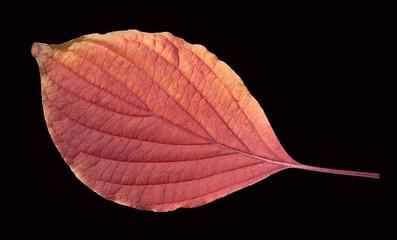 Riesen, Hartriegel, Cornus, Herbstfaerbung,