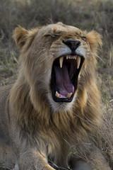 Male Lion, Kruger National Park