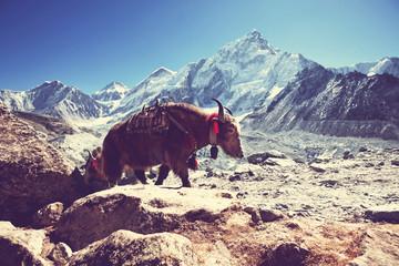 Photo sur Aluminium Népal Yak in Nepal