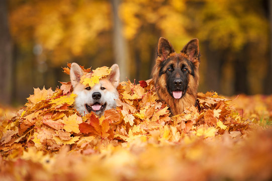 Two dogs lying in leaves