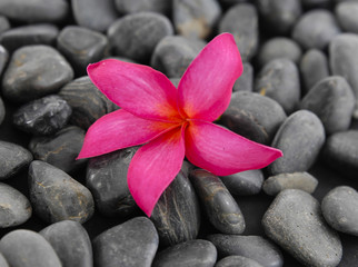 frangipani flower on black background