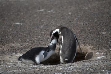 Penguin mother feeds her baby