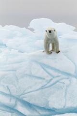 Polar bear in iceberg
