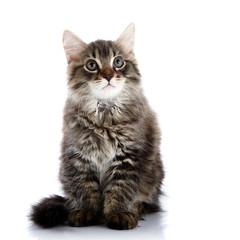 Striped fluffy kitten sits