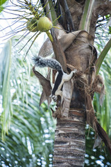 Tree Squirrel Climbs in a Coconut Palm