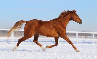 Wall Mural - Hanoverian horse running on snow manege