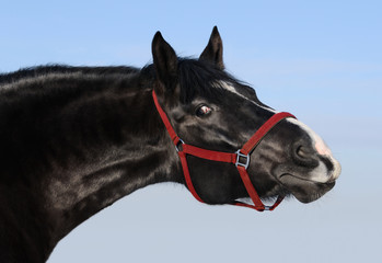 Wall Mural - Portrait of black mare