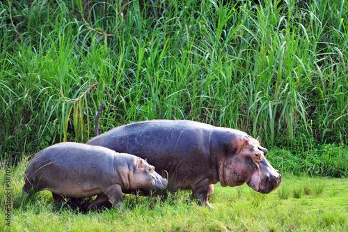 Fototapete Hippo