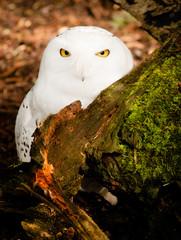 Snowy Owl Large Yellow Eyed Wild Bird Prey Species