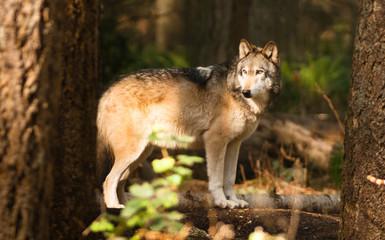 North American Timberwolf Wild Animal Wolf Canine Predator Alpha
