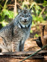 Wildcat Lynx Medium Sized Wild Animal Cat Genus Felis