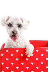 Cute puppy dog in a red love heart box