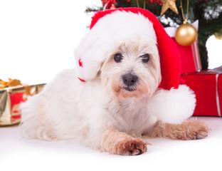 Christmas sweet white Dog