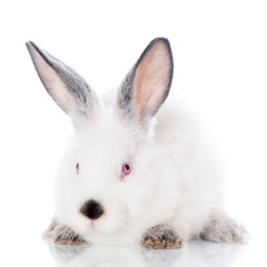 adorable white rabbit
