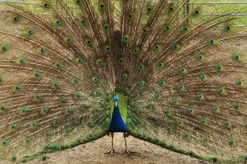 Peafowl male displaying its large colorful plumage