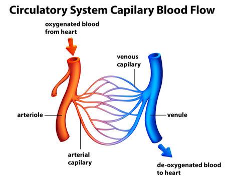 Circulatory System - Capilary blood flow