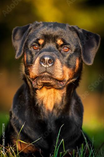 rottweiler dog names - 666×1000