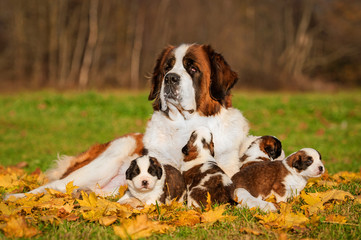 Fototapete - Saint bernard dog with puppies in autumn