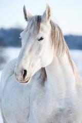Fototapete - Portrait of white horse in winter