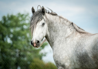 Wall Mural - Portrait of beautiful gray shire horse