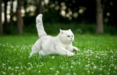 British shorthair cat running in summer