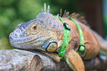 Pet iguana with a harness resting on a branch
