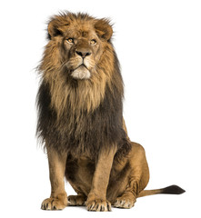 Wall Murals Lion Lion sitting, looking away, Panthera Leo, 10 years old, isolated
