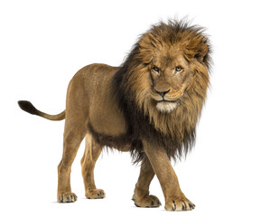 Wall Murals Lion Side view of a Lion walking, Panthera Leo, 10 years old