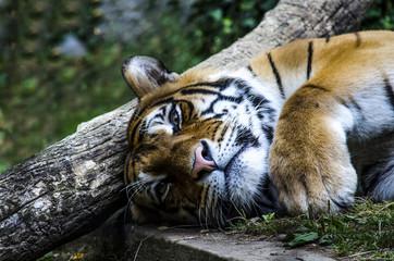 Tigre Indiana.