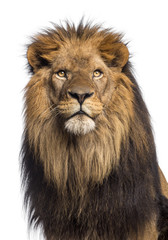Printed roller blinds Lion Close-up of a Lion looking up, Panthera Leo, 10 years old