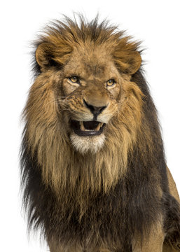 Close-up of a Lion roaring, Panthera Leo, 10 years old, isolated