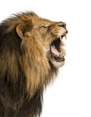 In de dag Leeuw Close-up of a Lion roaring, isolated on white