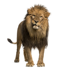 Foto auf Leinwand Löwe Lion standing, looking at the camera, Panthera Leo, 10 years old