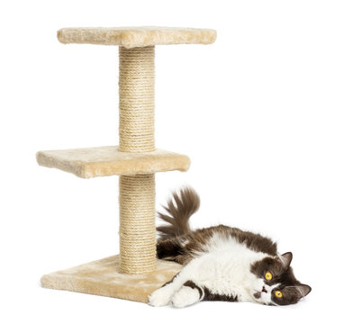 British longhair lying down at the bottom of a cat tree