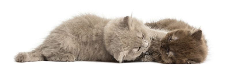 Highland fold kittens lying down, cuddling, isolated on white