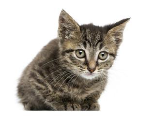 Front view of an European shorthair kitten lying