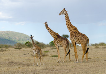 family of giraffe in kenya
