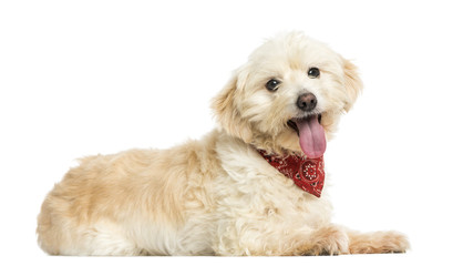 Side view of a Crossbreed dog wearing red bandana, isolated