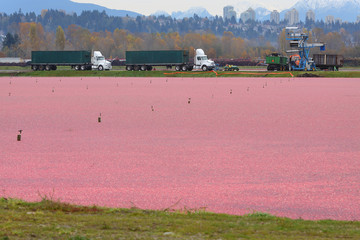 Richmond Cranberry Harvest, British Columbia, Canada