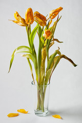 Wilted yellow tulips in a vase