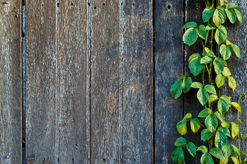 wood plank wall texture with vine at the edge