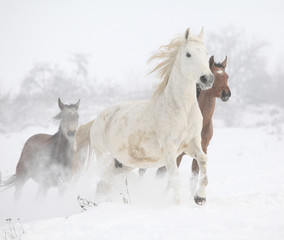 Fototapete - Batch of horses running in winter