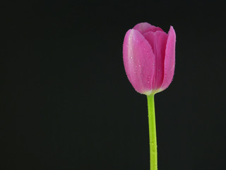 single tulip detail on black background