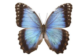 Morpho hyacinthus butterfly