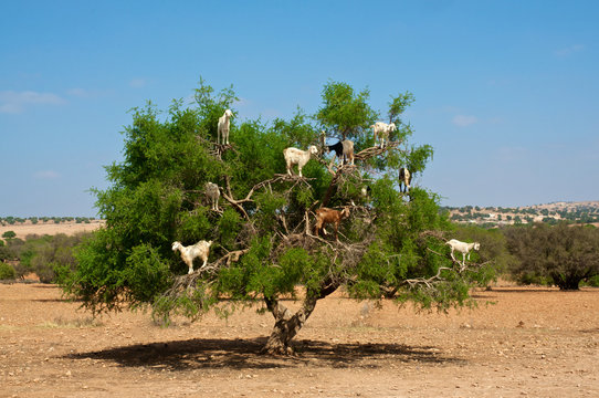 Goats on tree eating argan, in Marocco