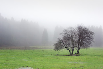 Wall Mural - lonely tree with fog