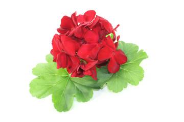 rote Geranie mit Blütenblättern
