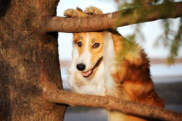 Funny border collie dog
