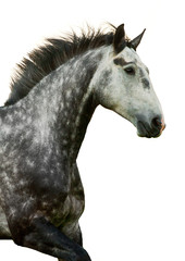 Fototapete - Portrait of grey galloping horse isolated